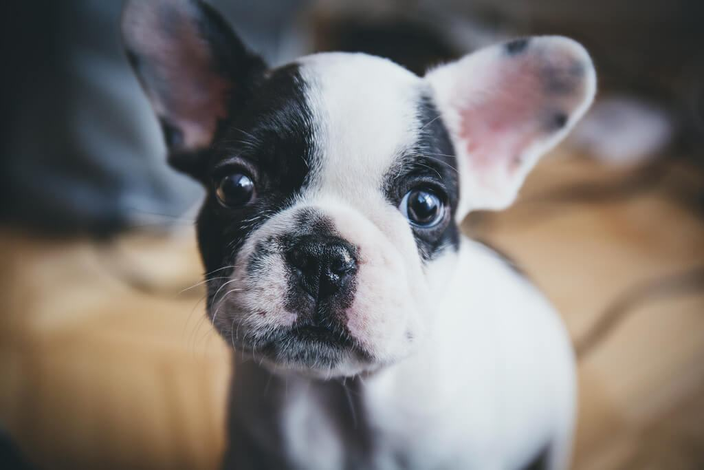 Raise a French Bulldog Puppy