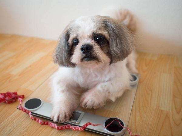 Best Dog Food for Weight Loss: Dealing with Overweight Issues