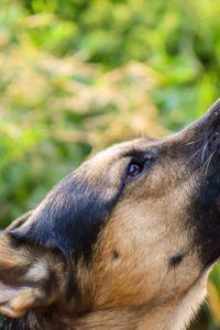 Dog Foods for German Shepherds