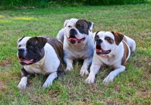 Best Dog Food for English Bulldogs
