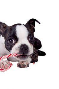 Best Dog Food for Boston Terriers