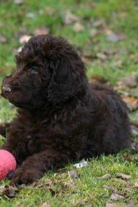 best-clippers-for-labradoodle