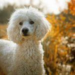 5 Best Dog Clippers for Poodles