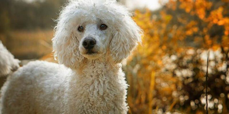 best-clippers-for-poodles