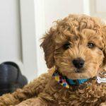 Best Dog Clipper for Goldendoodles [2021]