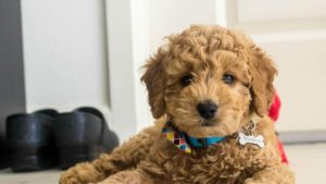 Best Dog Clipper for Goldendoodles [2020]
