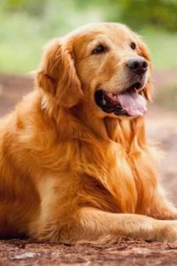 best-dog-clippers-golden-retriever
