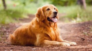 Best Dog Clippers For Golden Retriever [2020] Updated