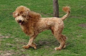 goldendoodle-lion-cut